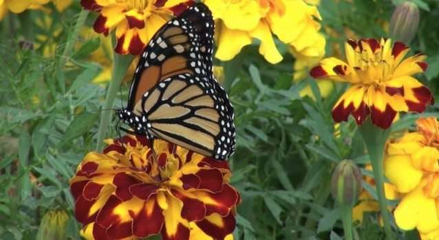 Getting Butterflies To Live In Your Garden